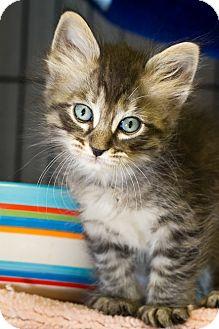 Domestic Mediumhair Kitten for adoption in Bulverde, Texas - Fluffy Kitty 4