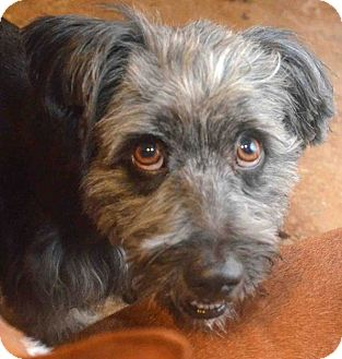 Schnauzer (Miniature)/Poodle (Miniature) Mix Dog for adoption in Phoenix, Arizona - Ash