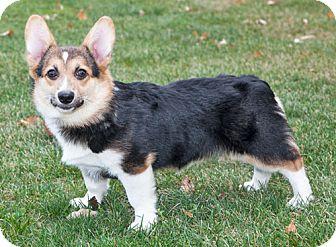 Corgi Dog for adoption in Howell, Michigan - William