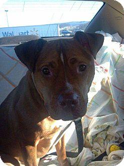 American Pit Bull Terrier Mix Dog for adoption in Elderton, Pennsylvania - Kingston