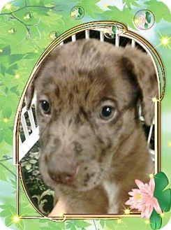 Australian Shepherd Mix Puppy for adoption in Detroit, Michigan - Baby Girl