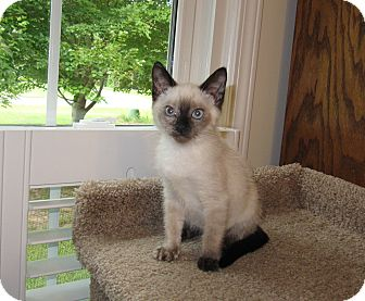 Siamese Kitten for adoption in Harrisburg, North Carolina - Scarlet
