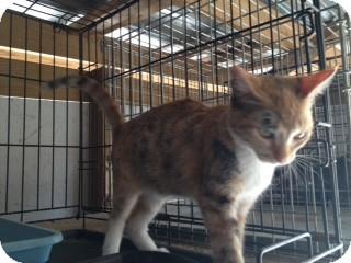 Calico Kitten for adoption in Foster, Rhode Island - Rainbow