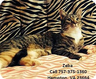 Calico Cat for adoption in Virginia Beach, Virginia - Zeba