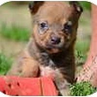 Adopt A Pet :: BooBoo - New Boston, NH