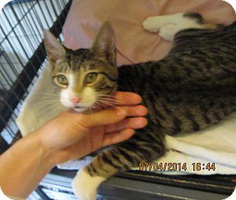 Domestic Shorthair Kitten for adoption in Freeport, New York - Timothy