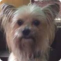 Adopt A Pet :: Triscuit - Bridgewater, NJ