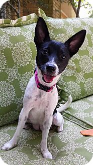 Rat Terrier Mix Dog for adoption in Groton, Massachusetts - Pretzel