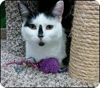 Domestic Shorthair Cat for adoption in Lincoln, Nebraska - WINNIE