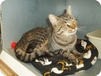 Domestic Shorthair Cat for adoption in Silver City, New Mexico - Parish