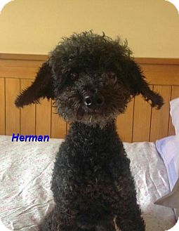Poodle (Toy or Tea Cup) Mix Dog for adoption in Mississauga, Ontario - Herman