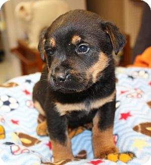 Rottweiler Mix Puppy for adoption in Cottageville, West Virginia - Tebo