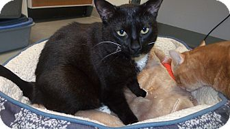 Domestic Shorthair Cat for adoption in Muskegon, Michigan - Spots