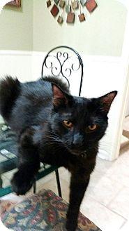 American Shorthair Cat for adoption in Houston, Texas - Salem