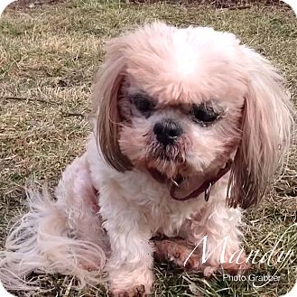 Shih Tzu Dog for adoption in Lincolnwood, Illinois - Mandy