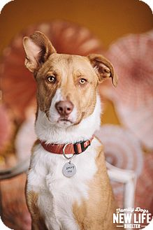 German Shepherd Dog/Border Collie Mix Dog for adoption in Portland, Oregon - Bryan