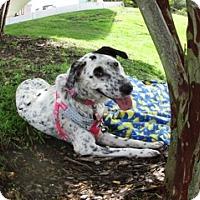 Adopt A Pet :: Kaleidoscope (KD) - Tampa, FL