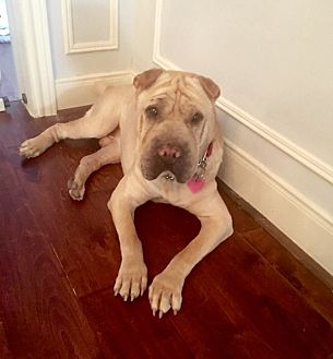 Shar Pei Dog for adoption in Houston, Texas - Sully