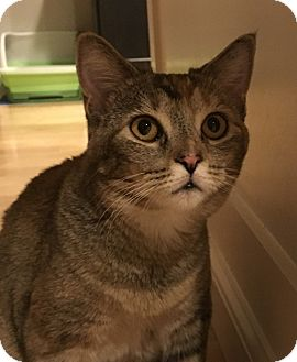 Domestic Shorthair Cat for adoption in Meridian, Idaho - Amber
