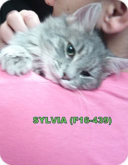 American Shorthair Kitten for adoption in Tiffin, Ohio - Sylvia