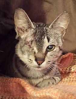 Domestic Shorthair Cat for adoption in Lansdowne, Pennsylvania - Grizabella