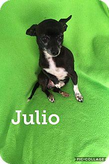 Chihuahua Mix Dog for adoption in Mesa, Arizona - JULIO 4 YEAR CHIHUAHUA