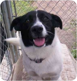 Corgi/Border Collie Mix Dog for adoption in Cold Lake, Alberta - Sabrina