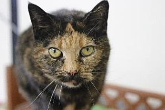 Domestic Shorthair Cat for adoption in Queenstown, Maryland - Garnet