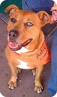 Australian Shepherd/Rhodesian Ridgeback Mix Dog for adoption in Cerritos, California - Bloo