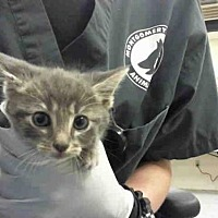 Adopt A Pet :: BRAD - Conroe, TX