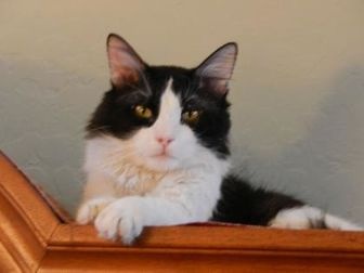 Domestic Mediumhair/Domestic Shorthair Mix Cat for adoption in Mesa, Arizona - SYLVESTER B.