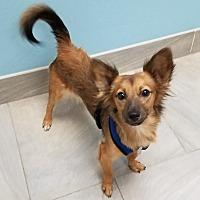 Adopt A Pet :: Flash - Phoenix, AZ