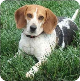Beagle Dog for adoption in London, Ohio - Molly Scott