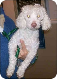 Miniature Poodle/Maltese Mix Puppy for adoption in Oak Ridge, New Jersey - Rudy