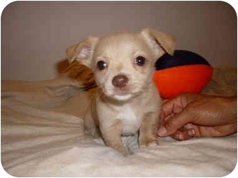 Chihuahua Mix Puppy for adoption in San Dimas, California - Bianca