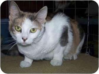 Domestic Shorthair Cat for adoption in Hayden, Idaho - Baybee Skittles