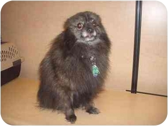 Pomeranian Mix Dog for adoption in Howell, Michigan - Jasmine