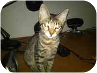 Domestic Shorthair Kitten for adoption in Tampa, Florida - Norma Jennings