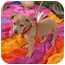 Photo 1 - Dachshund/Pug Mix Puppy for adoption in Sacramento, California - Sunshine cutest