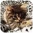 Photo 3 - Domestic Longhair Cat for adoption in Spencer, New York - Zephyr