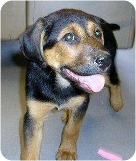 Rottweiler/Labrador Retriever Mix Puppy for adoption in Alexandria, Virginia - Nala