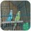 Photo 1 - Parakeet - Other for adoption in North Pole, Alaska - Tweetie and Slyvester