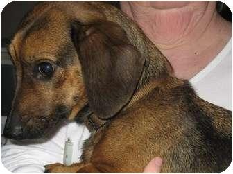 Dachshund/Beagle Mix Dog for adoption in Williamsburg, Virginia - Allie