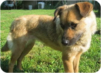 Shepherd (Unknown Type) Mix Dog for adoption in Hillsboro, Ohio - Shena