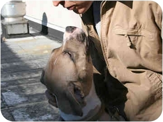 American Staffordshire Terrier Mix Dog for adoption in New York, New York - Sue