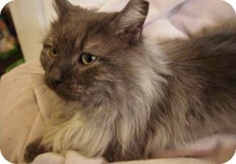 Maine Coon Cat for adoption in Merrifield, Virginia - Mosby