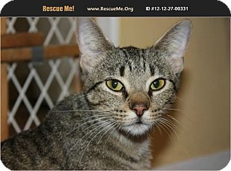 Domestic Shorthair Cat for adoption in Chicago, Illinois - Ally