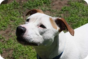 Pointer Mix Dog for adoption in Salem, New Hampshire - JACK FLASH**