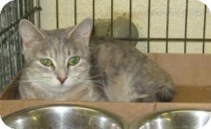 Domestic Shorthair Cat for adoption in Stillwater, Oklahoma - Julie
