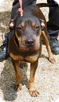 Shar Pei/Pit Bull Terrier Mix Dog for adoption in Everman, Texas - Melody